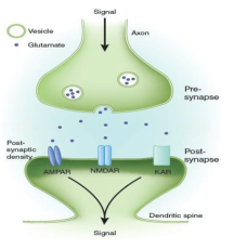 Glutamate-and-receptors-at-the-excitatory-synaps-Glutamate-released-in-the-synaptic